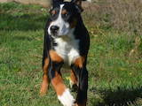 Собаки, щенки Большой Швейцарский зенненхунд, цена 15000 Грн., Фото