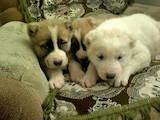 Собаки, щенята Середньоазіатська вівчарка, ціна 1500 Грн., Фото