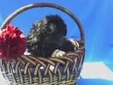 Собаки, щенки Той-пудель, цена 1300 Грн., Фото