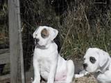 Собаки, щенята Американський бульдог, ціна 15000 Грн., Фото