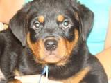 Собаки, щенята Ротвейлер, ціна 4 Грн., Фото