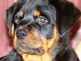 Собаки, щенки Ротвейлер, цена 5 Грн., Фото