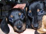 Собаки, щенки Жесткошерстная кроличья такса, цена 550 Грн., Фото