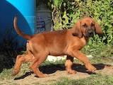 Собаки, щенята Бладхаунд, ціна 1234 Грн., Фото