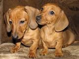 Собаки, щенки Гладкошерстная миниатюрная такса, цена 3200 Грн., Фото