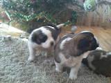 Собаки, щенята Сенбернар, ціна 2000 Грн., Фото