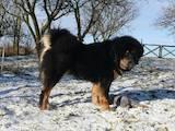 Собаки, щенки Тибетский мастиф, цена 6500 Грн., Фото