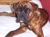 Собаки, щенята Боксер, ціна 1000 Грн., Фото