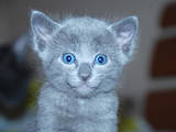 Кішки, кошенята Російська блакитна, ціна 2400 Грн., Фото