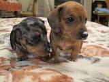 Собаки, щенята Гладкошерста мініатюрна такса, ціна 2800 Грн., Фото