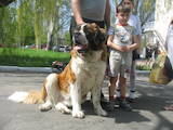 Собаки, щенки Сенбернар, цена 4000 Грн., Фото