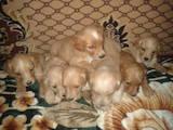 Собаки, щенки Английский спрингер спаниель, цена 500 Грн., Фото