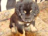 Собаки, щенки Тибетский мастиф, цена 12000 Грн., Фото