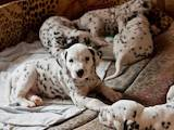 Собаки, щенята Далматин, ціна 5000 Грн., Фото