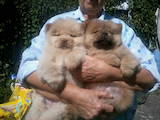 Собаки, щенята Чау-чау, ціна 2500 Грн., Фото