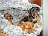 Собаки, щенки Карликовый пинчер, цена 1500 Грн., Фото