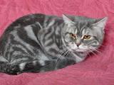Кошки, котята Спаривание, цена 400 Грн., Фото