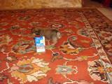 Собаки, щенки Пинчер, цена 1100 Грн., Фото