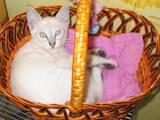 Кішки, кошенята Тайська, ціна 888 Грн., Фото