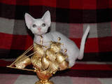 Кішки, кошенята Девон-рекс, ціна 6000 Грн., Фото