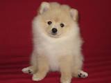 Собаки, щенята Малий шпіц, ціна 4000 Грн., Фото