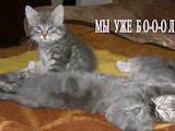 Кішки, кошенята Норвезька лісова, ціна 200 Грн., Фото