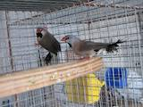 Папуги й птахи Канарки, ціна 10 Грн., Фото