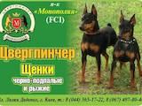 Собаки, щенки Карликовый пинчер, цена 3500 Грн., Фото