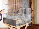 Грызуны Шиншиллы, цена 1100 Грн., Фото