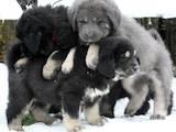 Собаки, щенята Тибетський мастиф, ціна 11110 Грн., Фото