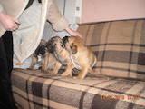 Собаки, щенята Бульмастиф, ціна 1200 Грн., Фото