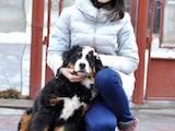 Собаки, щенята Великий Швейцарський зенненхунд, ціна 3200 Грн., Фото