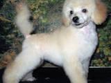 Собаки, щенки Карликовый пудель, цена 1500 Грн., Фото