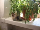 Кішки, кошенята Балінез, ціна 300 Грн., Фото