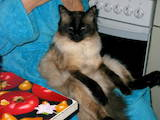 Кошки, котята Балинез, цена 300 Грн., Фото