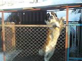 Собаки, щенята Сенбернар, Фото