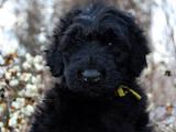 Собаки, щенята Чорний тер'єр, ціна 3000 Грн., Фото