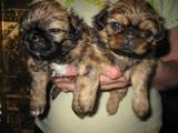 Собаки, щенята Пекінес, ціна 899 Грн., Фото