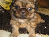 Собаки, щенки Пекинес, цена 899 Грн., Фото