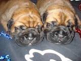 Собаки, щенята Бульмастиф, ціна 10 Грн., Фото