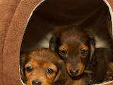 Собаки, щенята Довгошерста кроляча такса, ціна 4500 Грн., Фото