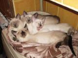 Кошки, котята Тайская, цена 2000 Грн., Фото