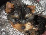 Собаки, щенята Йоркширський тер'єр, ціна 4200 Грн., Фото