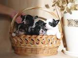 Собаки, щенята Китайська чубата собака, ціна 4000 Грн., Фото