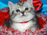 Кошки, котята Шотландская короткошерстная, цена 1500 Грн., Фото