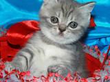 Кішки, кошенята Шотландська короткошерста, ціна 1500 Грн., Фото