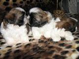 Собаки, щенки Ши-тцу, цена 2000 Грн., Фото