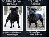 Собаки, щенки Стаффордширский бультерьер, цена 12000 Грн., Фото