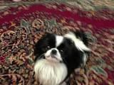 Собаки, щенята Японський хіни, Фото