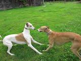 Собаки, щенки Грейхаунд, цена 6100 Грн., Фото